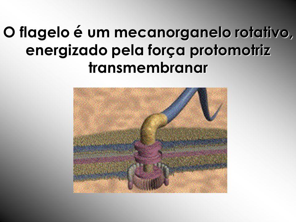 O flagelo é um mecanorganelo rotativo, energizado pela força protomotriz transmembranar