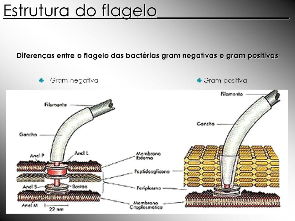Diferenças entre o flagelo das bactérias gram negativas e gram positivas Gram-positivaGram-negativa Estrutura do flagelo________________