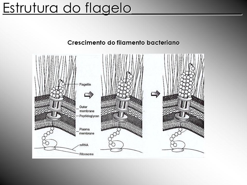 Crescimento do filamento bacteriano Estrutura do flagelo________________