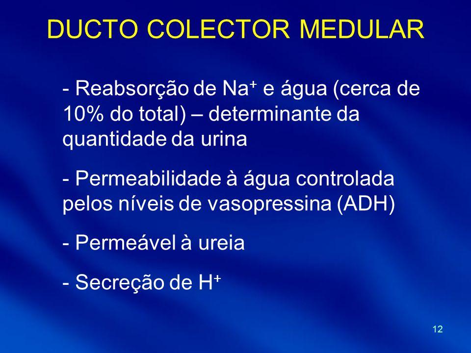12 DUCTO COLECTOR MEDULAR - Reabsorção de Na + e água (cerca de 10% do total) – determinante da quantidade da urina - Permeabilidade à água controlada pelos níveis de vasopressina (ADH) - Permeável à ureia - Secreção de H +