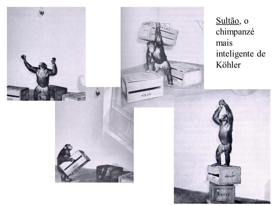 Sultão, o chimpanzé mais inteligente de Köhler