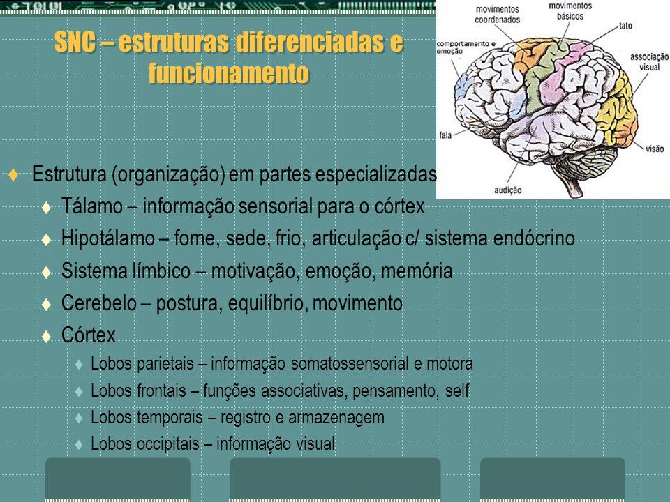 SNC – estruturas diferenciadas e funcionamento Estrutura (organização) em partes especializadas Tálamo – informação sensorial para o córtex Hipotálamo – fome, sede, frio, articulação c/ sistema endócrino Sistema límbico – motivação, emoção, memória Cerebelo – postura, equilíbrio, movimento Córtex Lobos parietais – informação somatossensorial e motora Lobos frontais – funções associativas, pensamento, self Lobos temporais – registro e armazenagem Lobos occipitais – informação visual