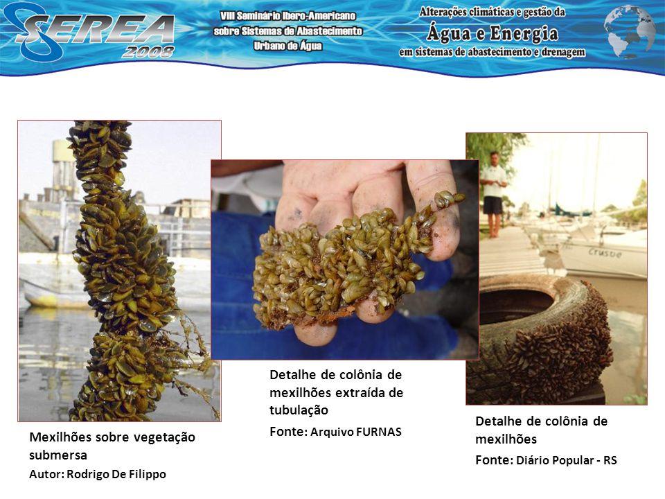 Mexilhões sobre vegetação submersa Autor: Rodrigo De Filippo Detalhe de colônia de mexilhões Fonte : Diário Popular - RS Detalhe de colônia de mexilhõ