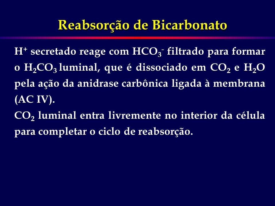 H + secretado reage com HCO 3 - filtrado para formar o H 2 CO 3 luminal, que é dissociado em CO 2 e H 2 O pela ação da anidrase carbônica ligada à mem