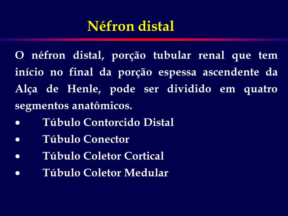 O néfron distal, porção tubular renal que tem início no final da porção espessa ascendente da Alça de Henle, pode ser dividido em quatro segmentos ana