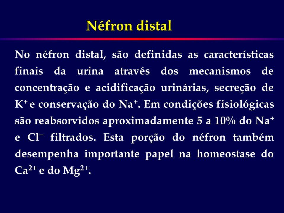 No néfron distal, são definidas as características finais da urina através dos mecanismos de concentração e acidificação urinárias, secreção de K + e