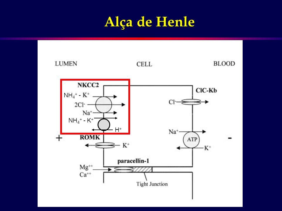 Alça de Henle K+K+K+K+ H+H+H+H+ NH 4 + -