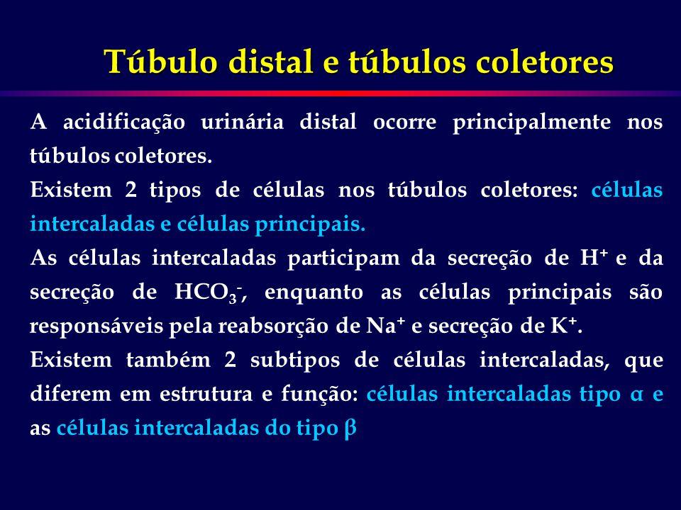 Túbulo distal e túbulos coletores A acidificação urinária distal ocorre principalmente nos túbulos coletores. Existem 2 tipos de células nos túbulos c