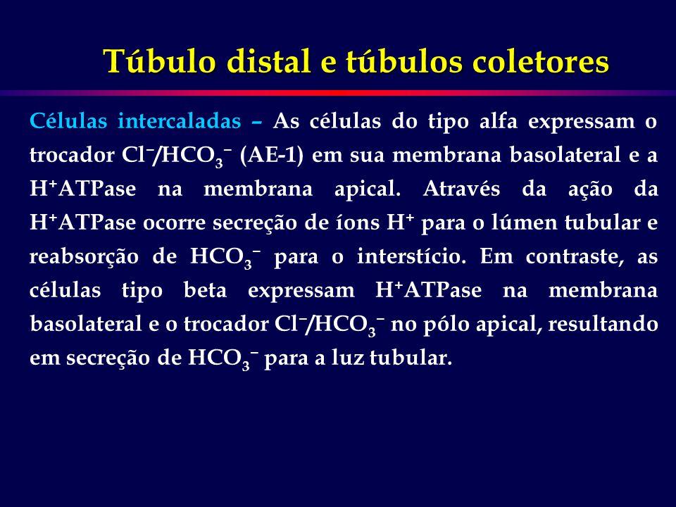 Túbulo distal e túbulos coletores Células intercaladas – As células do tipo alfa expressam o trocador Cl /HCO 3 (AE-1) em sua membrana basolateral e a