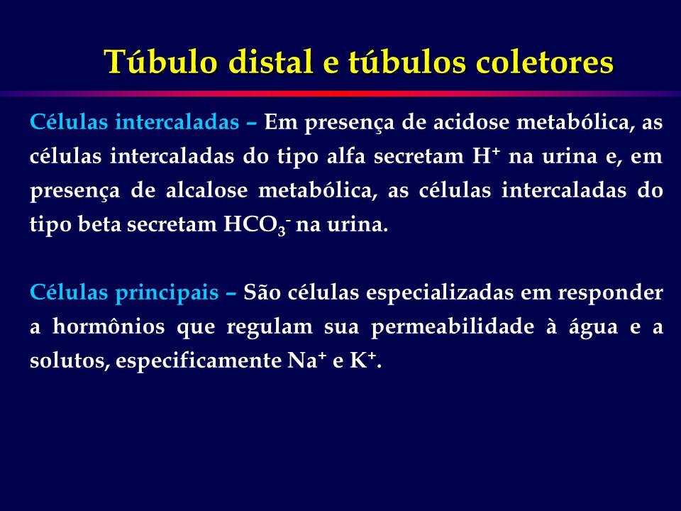 Células intercaladas – Em presença de acidose metabólica, as células intercaladas do tipo alfa secretam H + na urina e, em presença de alcalose metabó