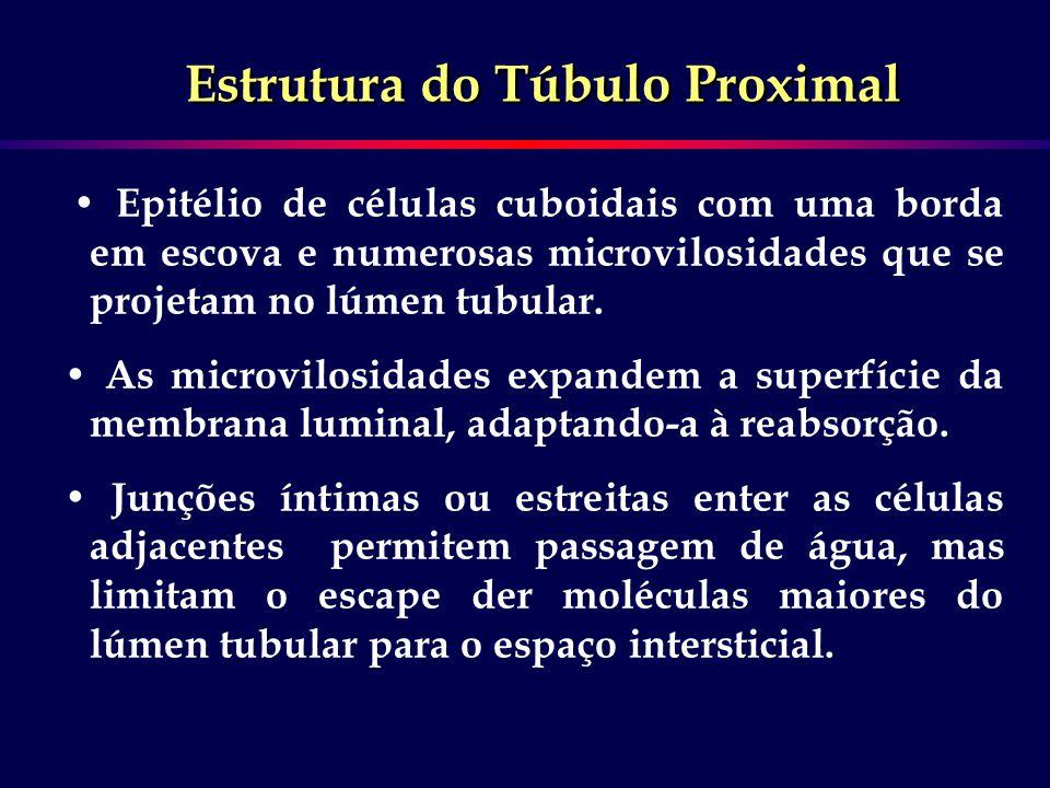 Estrutura do Túbulo Proximal Epitélio de células cuboidais com uma borda em escova e numerosas microvilosidades que se projetam no lúmen tubular. As m