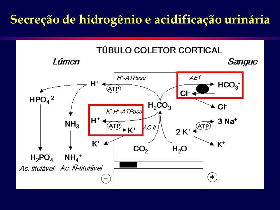Secreção de hidrogênio e acidificação urinária _ +