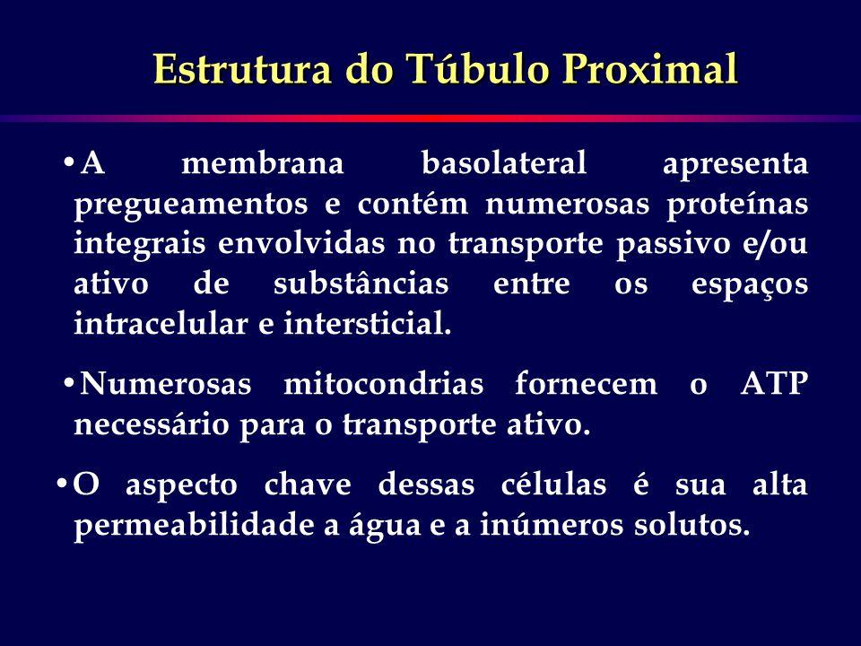 A membrana basolateral apresenta pregueamentos e contém numerosas proteínas integrais envolvidas no transporte passivo e/ou ativo de substâncias entre