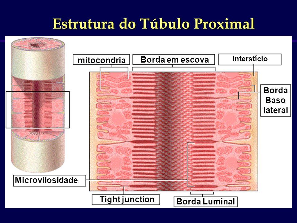 mitocondria Tight junction Borda em escova Microvilosidade Borda Luminal Borda Baso lateral interstício Estrutura do Túbulo Proximal