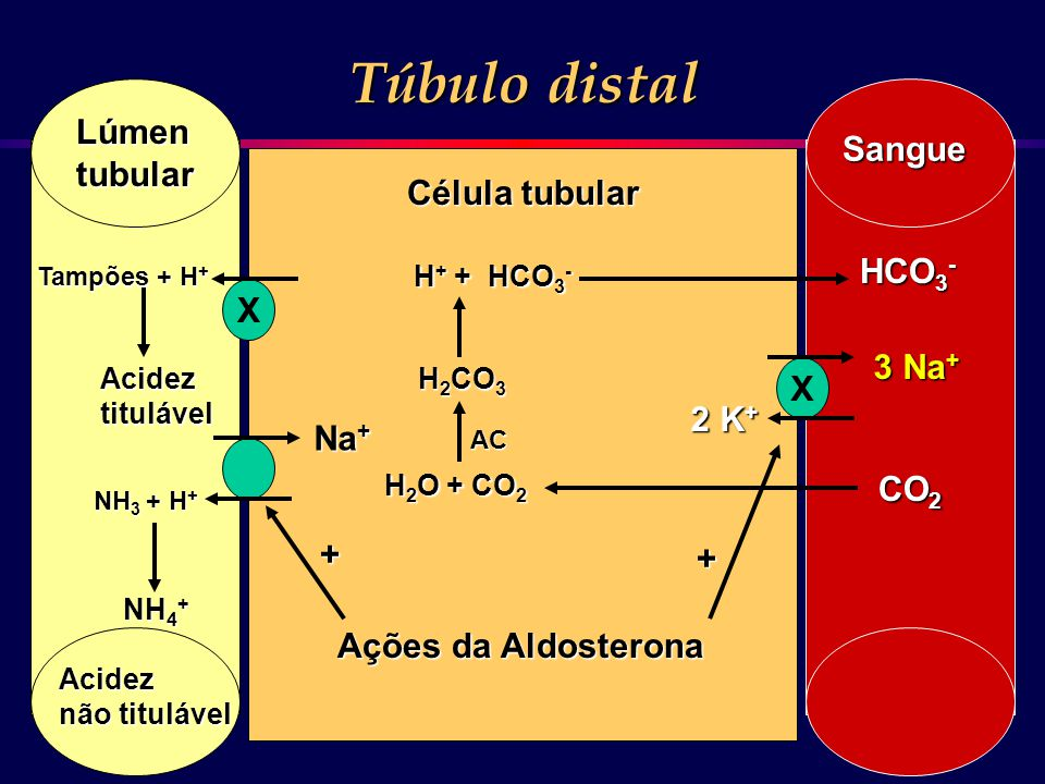 X Na + Tampões + H + NH 3 + H + Lúmentubular Sangue Túbulo distal Célula tubular Acideztitulável H 2 O + CO 2 H 2 CO 3 H + + HCO 3 - AC CO 2 HCO 3 - N