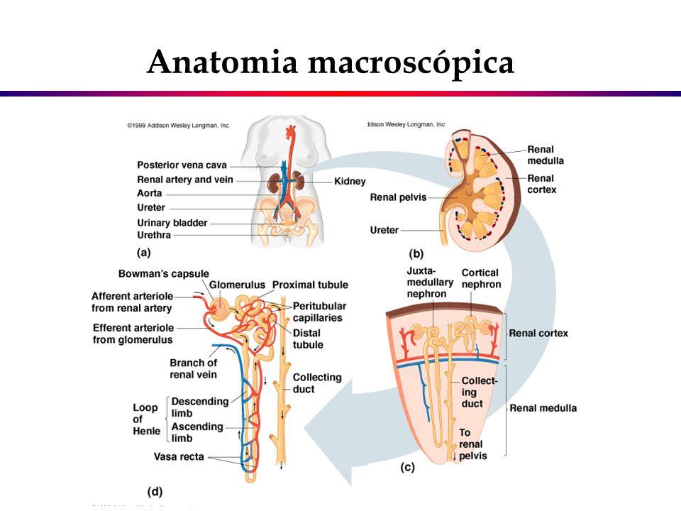 Glomérulo renal Função básica - filtrar o sangue formando um ultrafiltrado constituído por água, uréia, glicose e pequenas proteínas Pólo vascular – composto pelas arteríolas aferente e eferente Capilares glomerulares Cápsula de Bowman – dividida em parietal e visceral Espaço de Bowman Aparelho justaglomerular Função básica - filtrar o sangue formando um ultrafiltrado constituído por água, uréia, glicose e pequenas proteínas Pólo vascular – composto pelas arteríolas aferente e eferente Capilares glomerulares Cápsula de Bowman – dividida em parietal e visceral Espaço de Bowman Aparelho justaglomerular