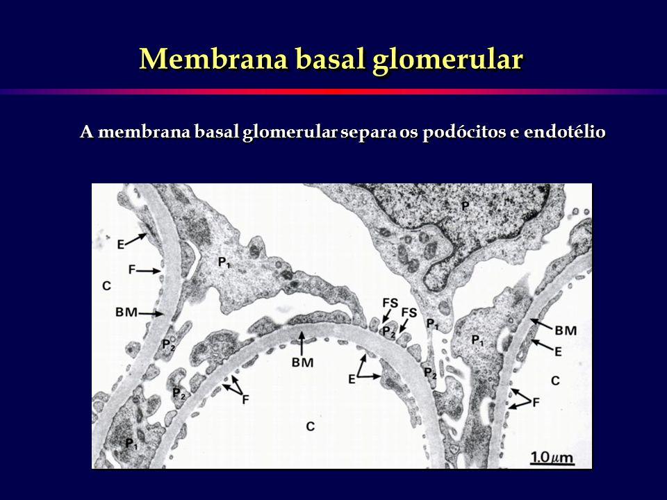 Células mesangiais/ mesângio
