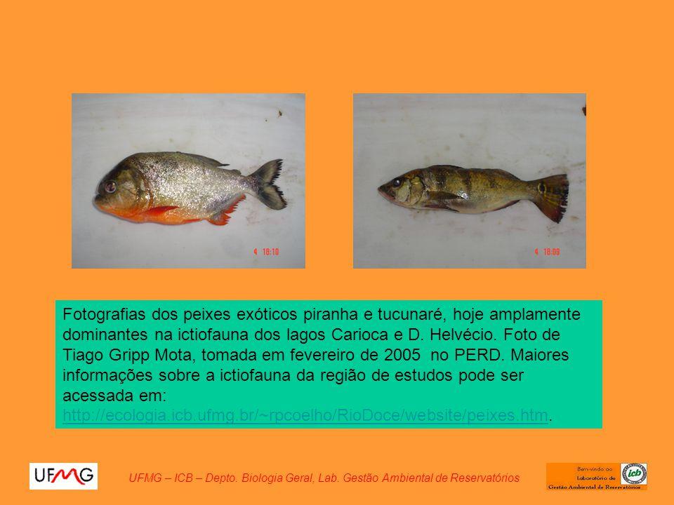 Fotografias dos peixes exóticos piranha e tucunaré, hoje amplamente dominantes na ictiofauna dos lagos Carioca e D. Helvécio. Foto de Tiago Gripp Mota
