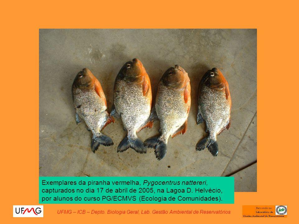 Exemplares da piranha vermelha, Pygocentrus nattereri, capturados no dia 17 de abril de 2005, na Lagoa D. Helvécio, por alunos do curso PG/ECMVS (Ecol