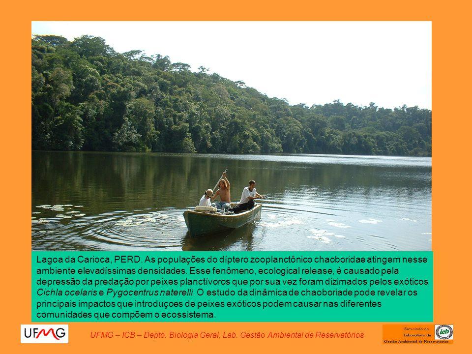 Lagoa da Carioca, PERD. As populações do díptero zooplanctônico chaoboridae atingem nesse ambiente elevadíssimas densidades. Esse fenômeno, ecological