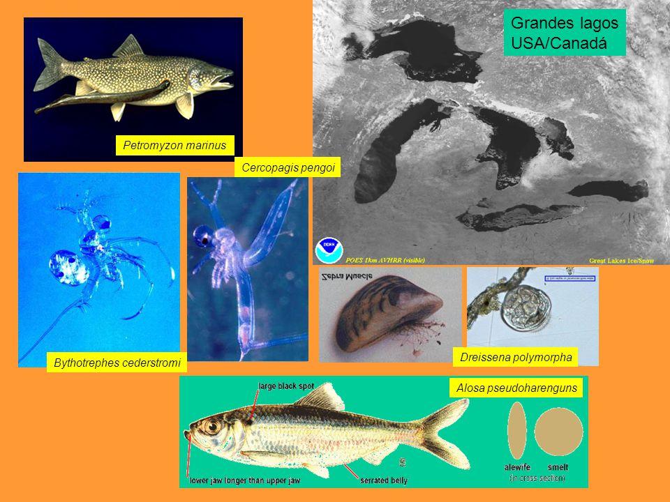 Alosa pseudoharenguns Bythotrephes cederstromi Cercopagis pengoi Dreissena polymorpha Petromyzon marinus Grandes lagos USA/Canadá
