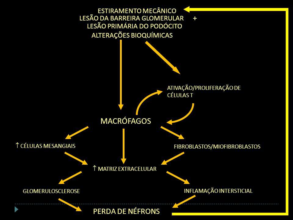 FIBROBLASTOS/MIOFIBROBLASTOS CÉLULAS MESANGIAIS INFLAMAÇÃO INTERSTICIAL GLOMERULOSCLEROSE MATRIZ EXTRACELULAR PERDA DE NÉFRONS + ESTIRAMENTO MECÂNICO