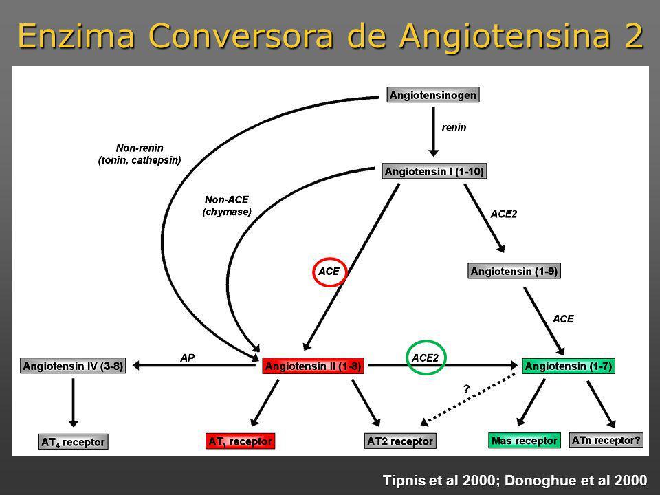 Enzima Conversora de Angiotensina 2 Tipnis et al 2000; Donoghue et al 2000