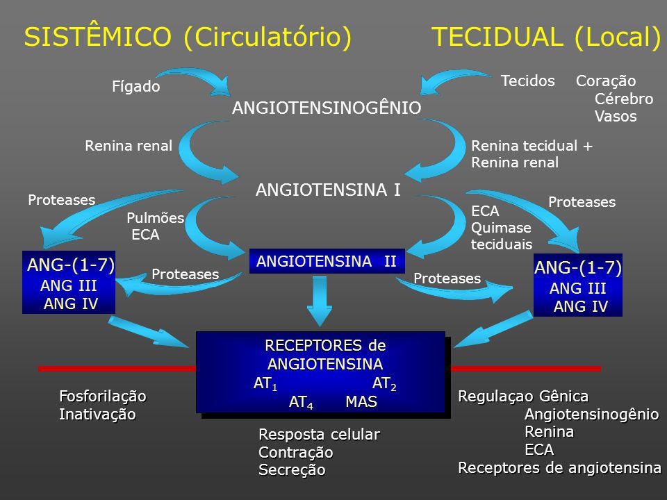 Proteases ANGIOTENSINOGÊNIO SISTÊMICO (Circulatório)TECIDUAL (Local) Fosforilação Inativação Fosforilação Inativação Resposta celular Contração Secreção Resposta celular Contração Secreção Regulaçao Gênica Angiotensinogênio Renina ECA Receptores de angiotensina Regulaçao Gênica Angiotensinogênio Renina ECA Receptores de angiotensina Fígado Renina renalRenina tecidual + Renina renal ANGIOTENSINA I Pulmões ECA Quimase teciduais Tecidos Coração Cérebro Vasos Proteases ANGIOTENSINA II ANG-(1-7) ANG III ANG IV ANG-(1-7) ANG III ANG IV RECEPTORES de ANGIOTENSINA AT 1 AT 2 AT 4 MAS RECEPTORES de ANGIOTENSINA AT 1 AT 2 AT 4 MAS