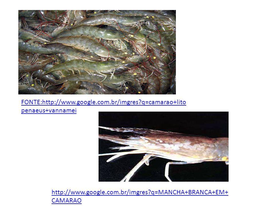 FONTE:http://www.google.com.br/imgres?q=camarao+lito penaeus+vannamei http://www.google.com.br/imgres?q=MANCHA+BRANCA+EM+ CAMARAO