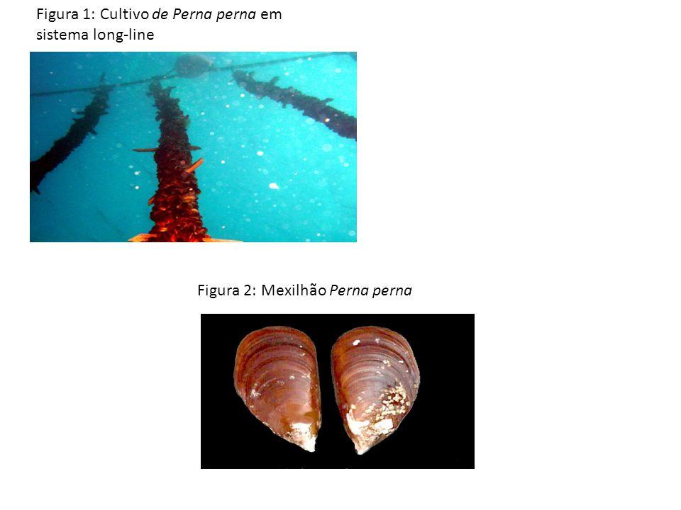 Figura 1: Cultivo de Perna perna em sistema long-line Figura 2: Mexilhão Perna perna