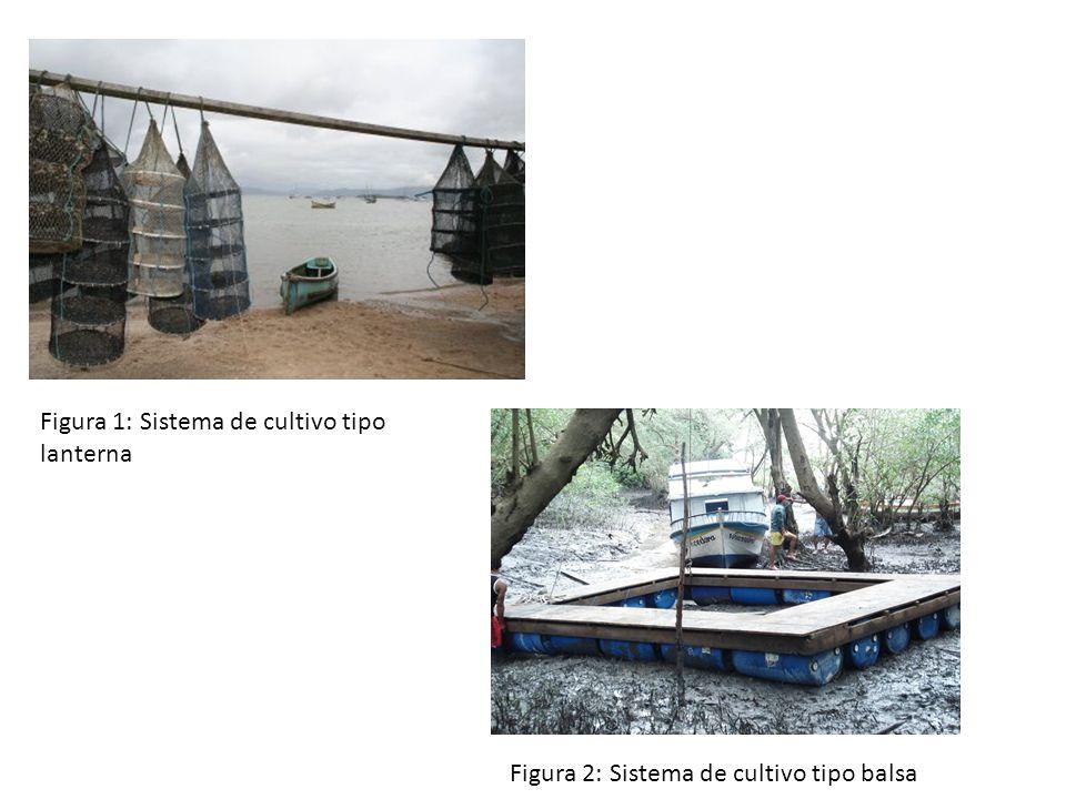 Figura 1: Sistema de cultivo tipo lanterna Figura 2: Sistema de cultivo tipo balsa