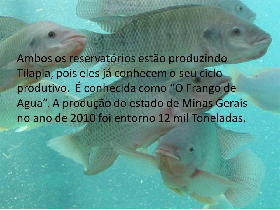 Ambos os reservatórios estão produzindo Tilapia, pois eles já conhecem o seu ciclo produtivo. É conhecida como O Frango de Agua. A produção do estado