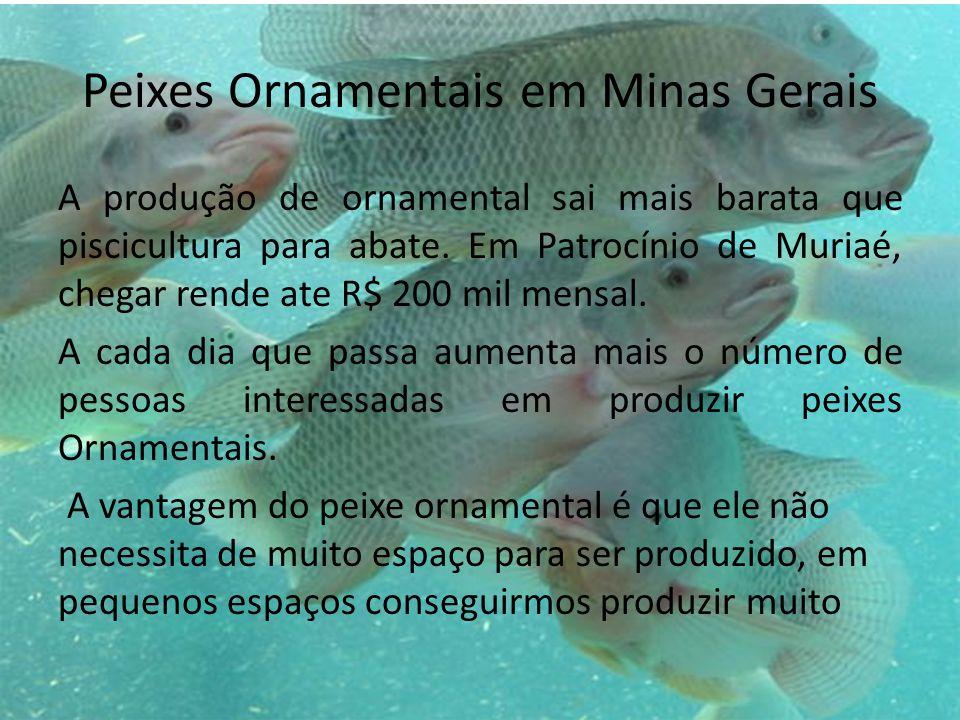 Peixes Ornamentais em Minas Gerais A produção de ornamental sai mais barata que piscicultura para abate. Em Patrocínio de Muriaé, chegar rende ate R$