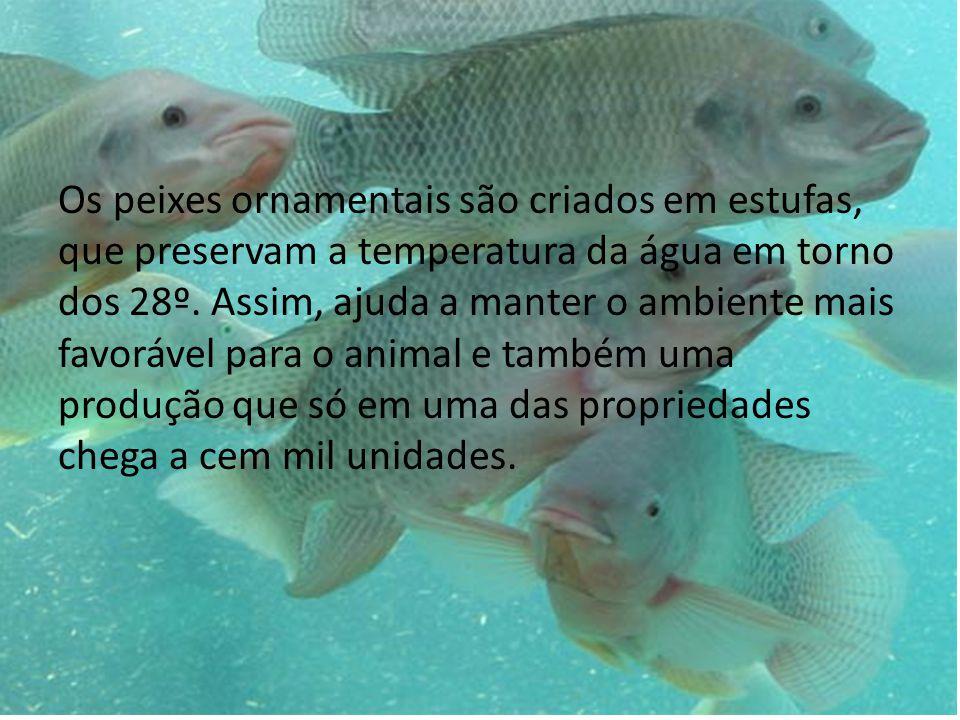 Os peixes ornamentais são criados em estufas, que preservam a temperatura da água em torno dos 28º. Assim, ajuda a manter o ambiente mais favorável pa