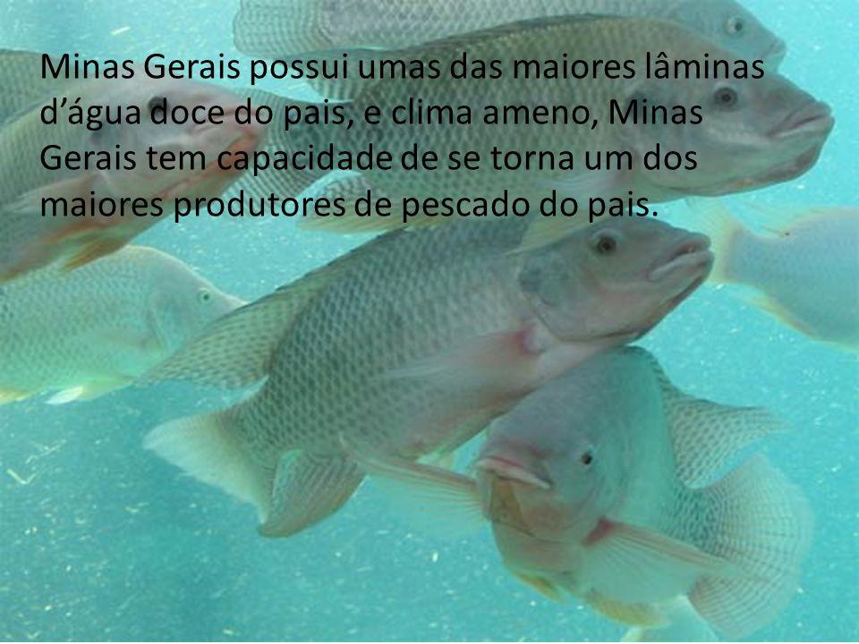 Minas Gerais possui umas das maiores lâminas dágua doce do pais, e clima ameno, Minas Gerais tem capacidade de se torna um dos maiores produtores de pescado do pais.