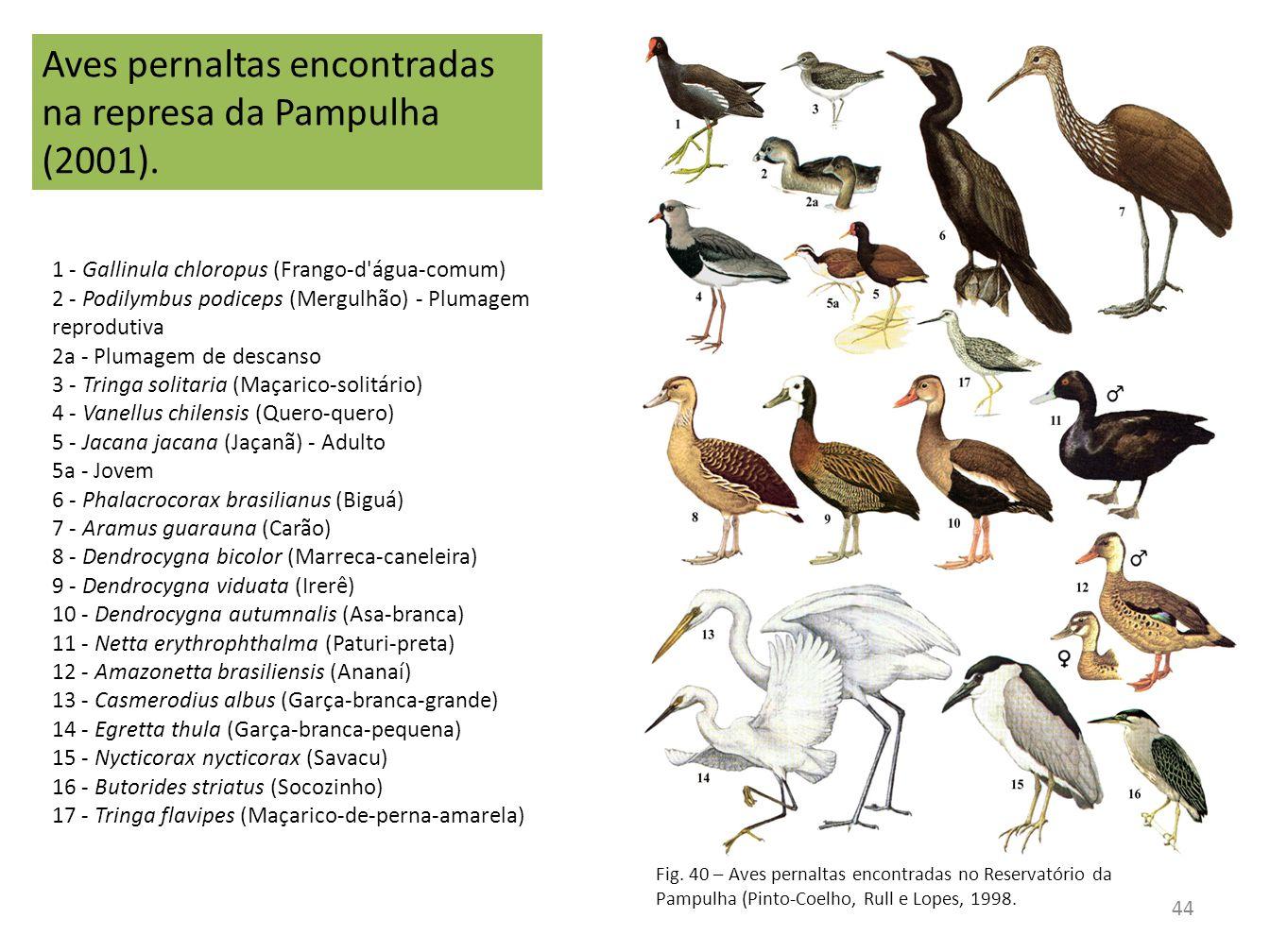 1 - Gallinula chloropus (Frango-d'água-comum) 2 - Podilymbus podiceps (Mergulhão) - Plumagem reprodutiva 2a - Plumagem de descanso 3 - Tringa solitari