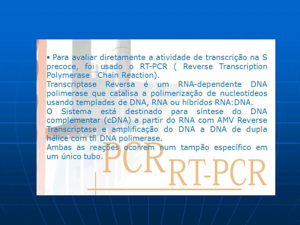 Para avaliar diretamente a atividade de transcrição na S precoce, foi usado o RT-PCR ( Reverse Transcription Polymerase Chain Reaction).