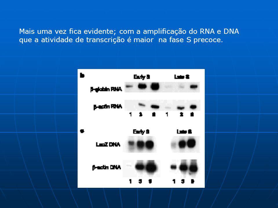 Mais uma vez fica evidente; com a amplificação do RNA e DNA que a atividade de transcrição é maior na fase S precoce.