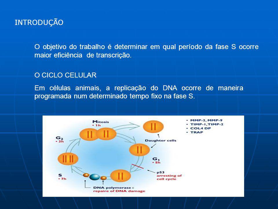 O objetivo do trabalho é determinar em qual período da fase S ocorre maior eficiência de transcrição.