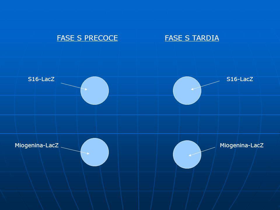 FASE S PRECOCEFASE S TARDIA S16-LacZ Miogenina-LacZ S16-LacZ Miogenina-LacZ