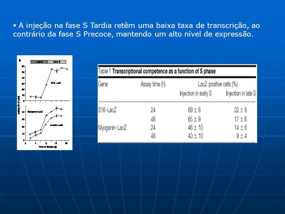 Para finalizar a idéia de que o tempo de injeção determina uma melhor transcrição, foi projetada uma experiência para medir a transcrição na fase S tardia e precoce em uma única célula.