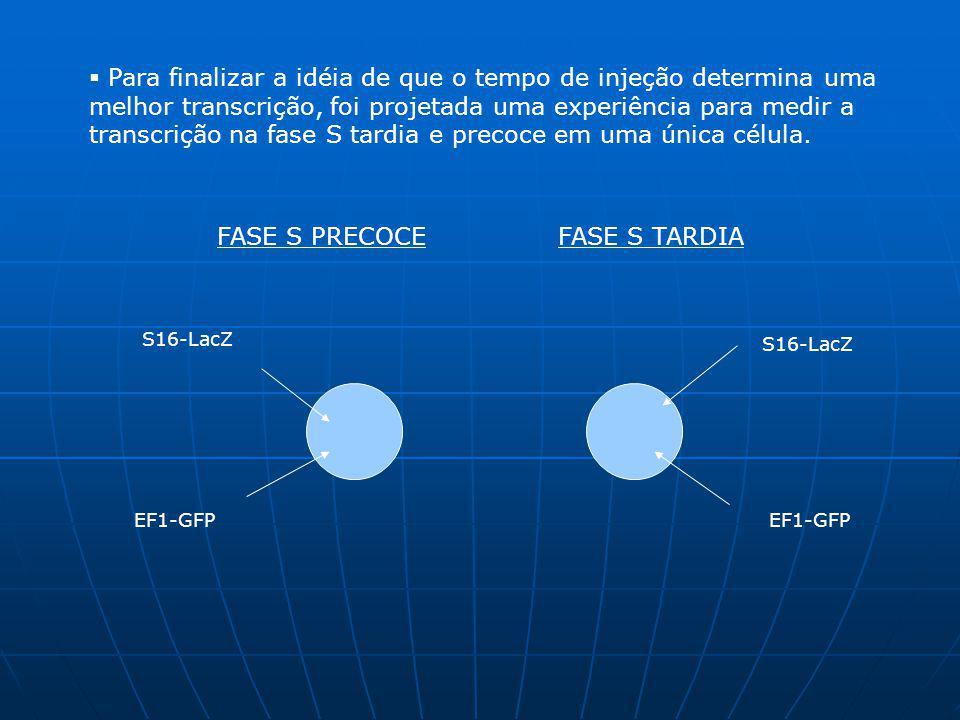 Enquanto a célula injetada com S16-LacZ na fase precoce expressão 63% de atividade; só 19% desta mesma população expressão o plasmídeo de EF1-GFP injetados na fase tardia.