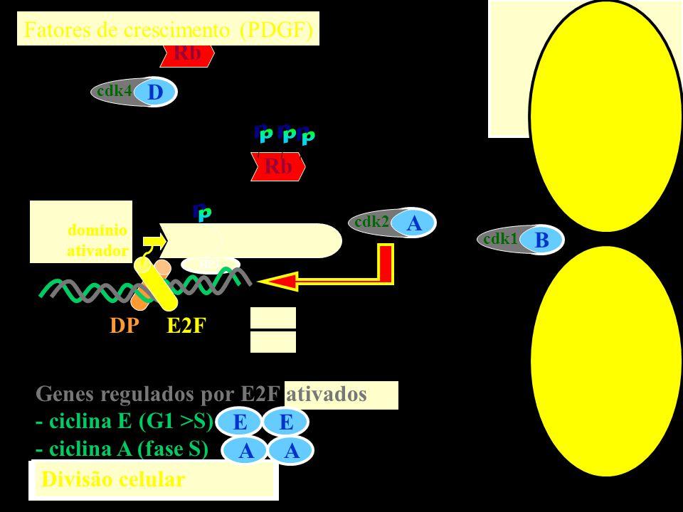 CinaseCiclinaFase cdk4DG1 cdk2EG1 cdk2AS cdk1BM Inibidor P16, p21, p27 p21, p27 p21 cdk4 é a única cinase induzida p16 é específica para cdk4/D p21 é