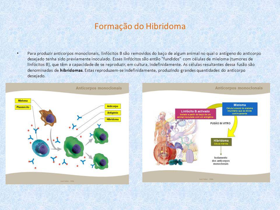 Formação do Hibridoma Para produzir anticorpos monoclonais, linfócitos B são removidos do baço de algum animal no qual o antígeno do anticorpo desejad