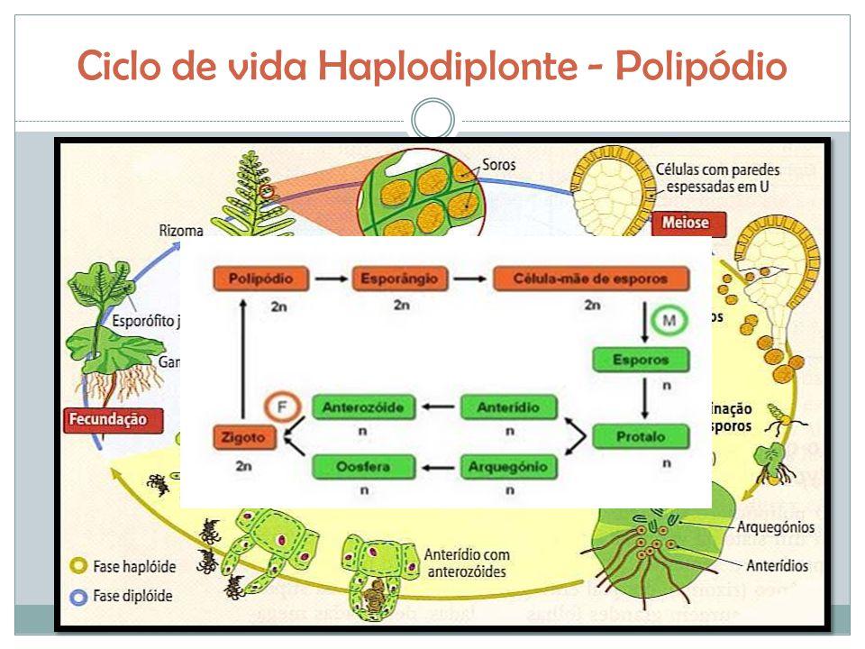 Ciclo de vida Haplodiplonte - Polipódio
