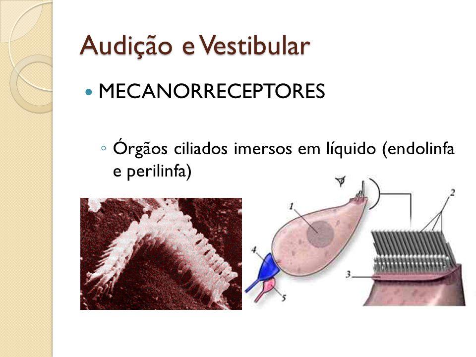 Audição e Vestibular MECANORRECEPTORES Órgãos ciliados imersos em líquido (endolinfa e perilinfa)