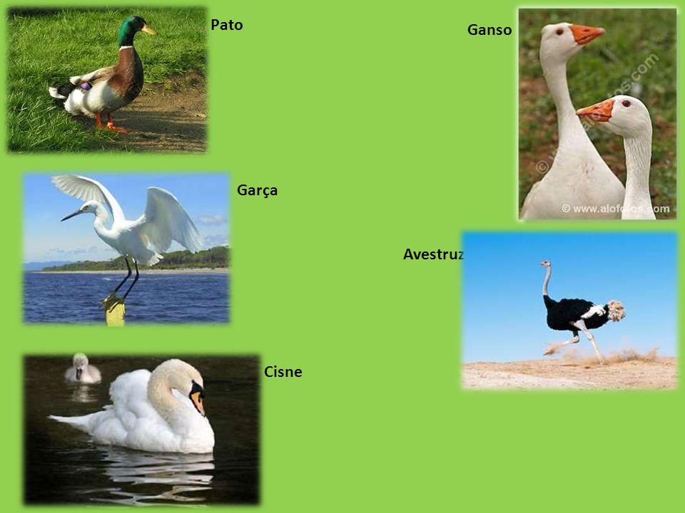 Avestruz Ganso Pato Cisne Garça