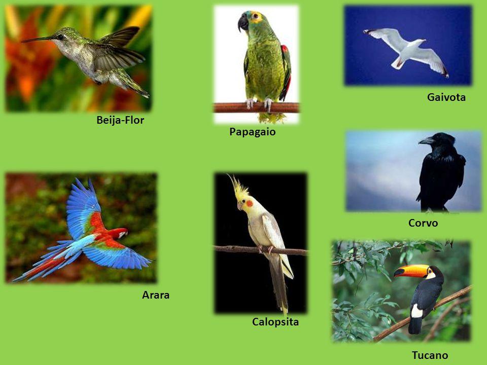Arara Beija-Flor Gaivota Corvo Papagaio Calopsita Tucano