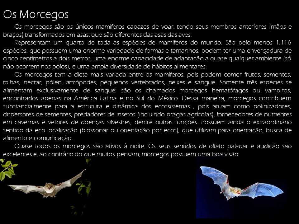 Os Morcegos: Os morcegos são os únicos mamíferos capazes de voar, tendo seus membros anteriores (mãos e braços) transformados em asas, que são diferen