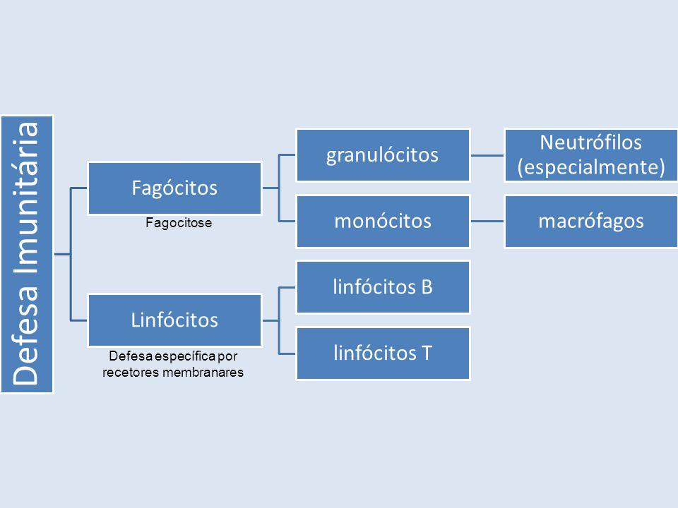 Defesa Imunitária Fagócitos granulócitos Neutrófilos (especialmente) monócitosmacrófagos Linfócitos linfócitos B linfócitos T Fagocitose Defesa específica por recetores membranares